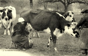 Traite des vaches autrefois, en Normandie